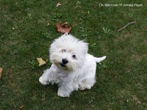 Indy - westie male (7)