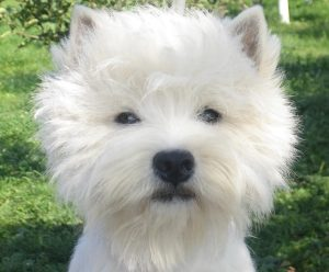 Sangry-Westie Female (3)