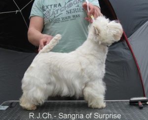 Sangry-Westie Female (5)