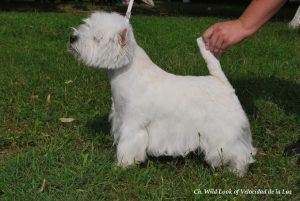 male westie Willy Cacib Ploiesti 2015