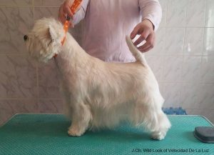 male westie Willy Feb2016