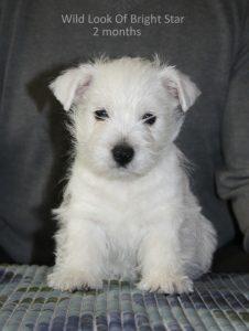 westie puppy